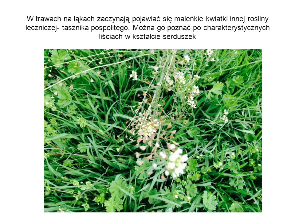 W trawach na łąkach zaczynają pojawiać się maleńkie kwiatki innej rośliny leczniczej- tasznika pospolitego. Można go poznać po charakterystycznych liś