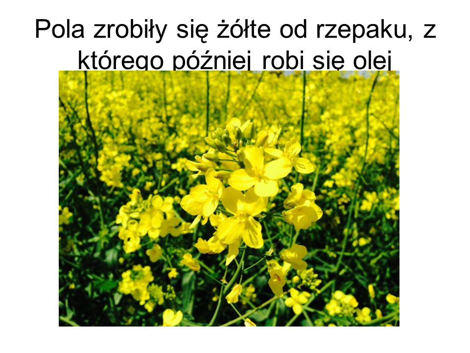 Pola zrobiły się żółte od rzepaku, z którego później robi się olej