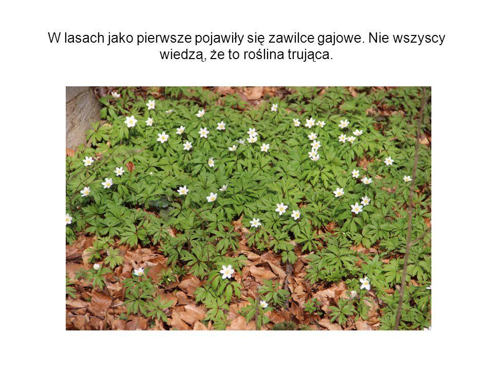 W lasach jako pierwsze pojawiły się zawilce gajowe. Nie wszyscy wiedzą, że to roślina trująca.