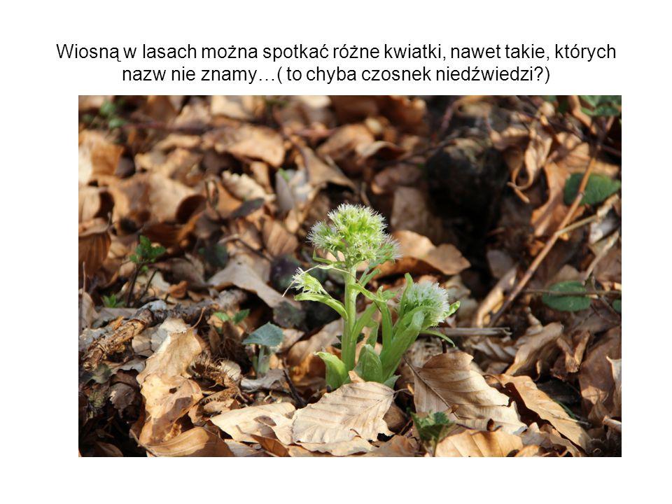 Wiosną w lasach można spotkać różne kwiatki, nawet takie, których nazw nie znamy…( to chyba czosnek niedźwiedzi?)