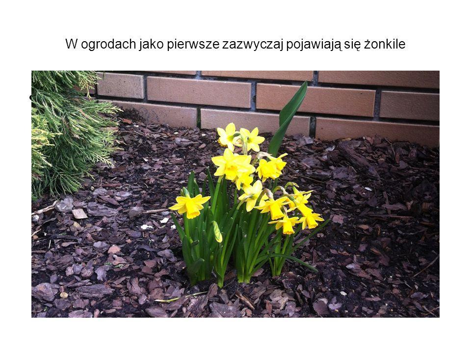 W ogrodach jako pierwsze zazwyczaj pojawiają się żonkile gaja prezentacja\IMG_0193 — kopia.JPG