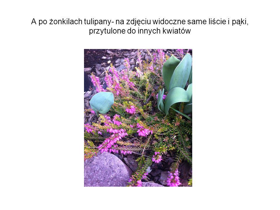 A po żonkilach tulipany- na zdjęciu widoczne same liście i pąki, przytulone do innych kwiatów