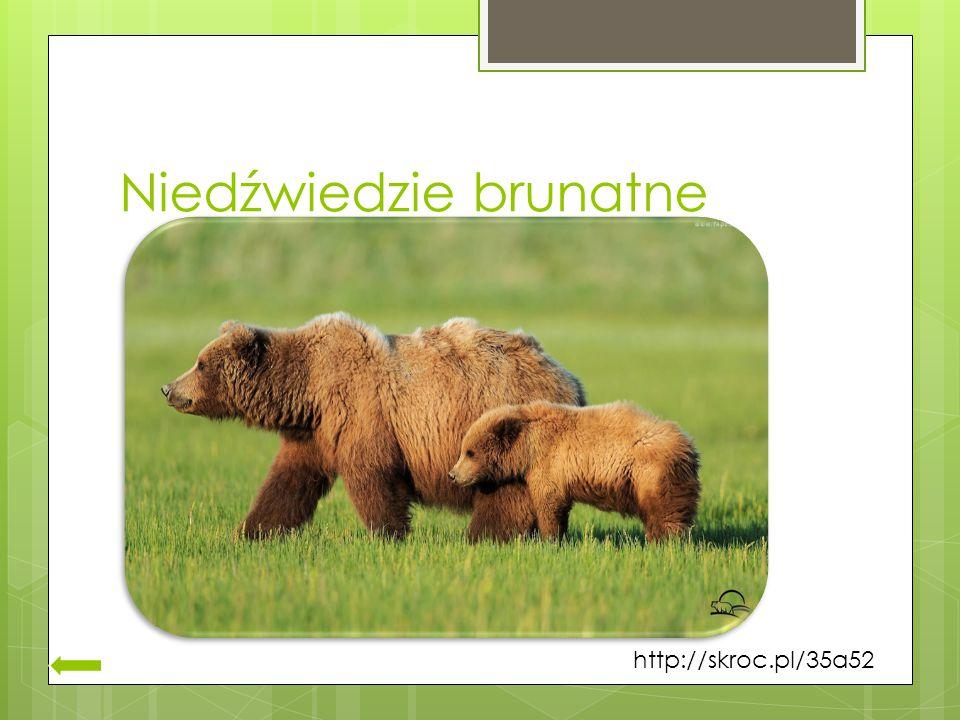 Niedźwiedzie brunatne http://skroc.pl/35a52