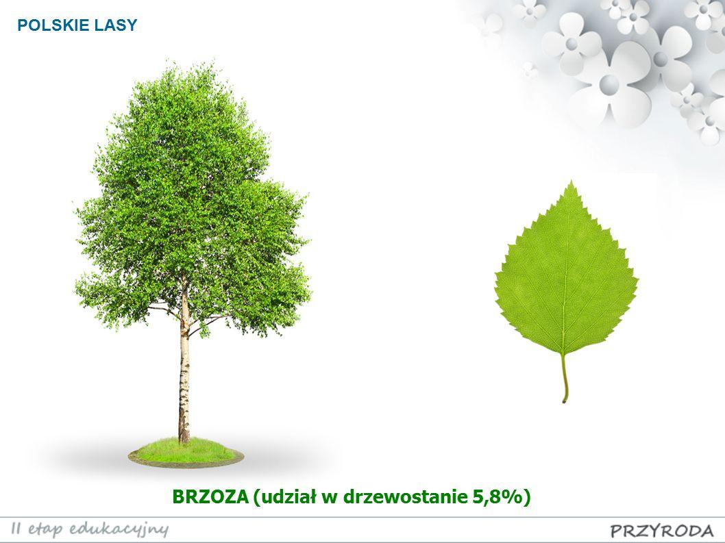 POLSKIE LASY BRZOZA (udział w drzewostanie 5,8%)