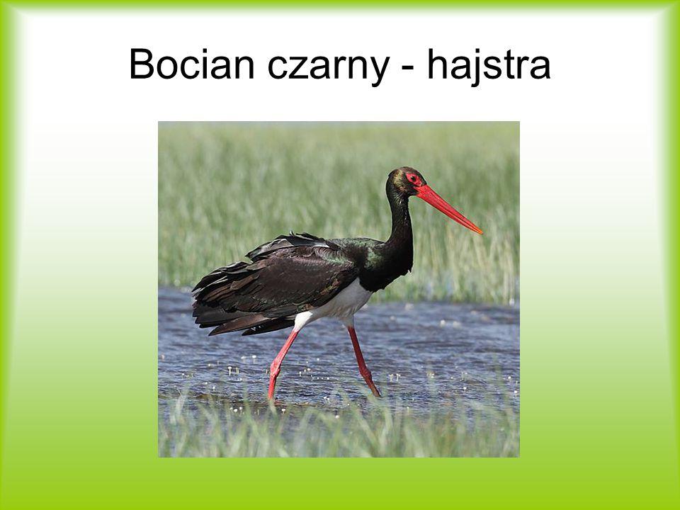 Bocian czarny - hajstra