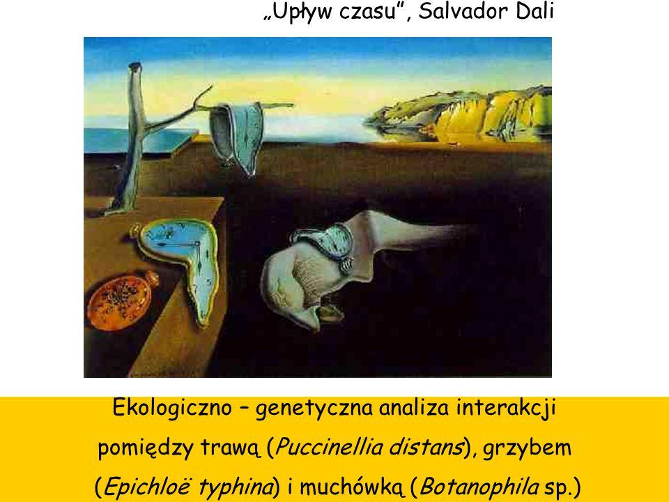 """""""Upływ czasu"""", Salvador Dali Ekologiczno – genetyczna analiza interakcji pomiędzy trawą (Puccinellia distans), grzybem (Epichloë typhina) i muchówką ("""
