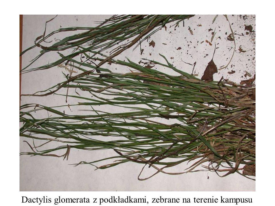 Dactylis glomerata z podkładkami, zebrane na terenie kampusu