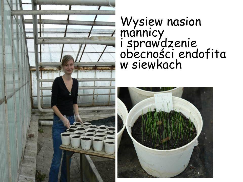 Wysiew nasion mannicy i sprawdzenie obecności endofita w siewkach