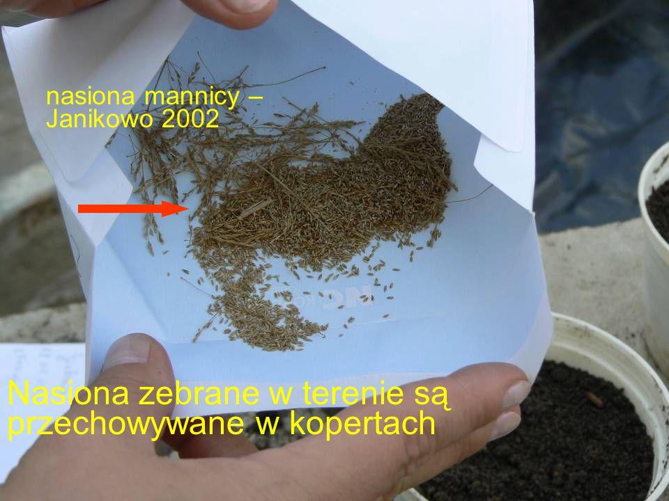 Nasiona zebrane w terenie są przechowywane w kopertach nasiona mannicy – Janikowo 2002