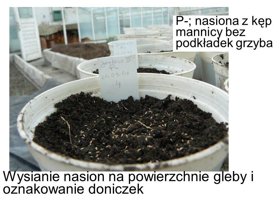 Wysianie nasion na powierzchnie gleby i oznakowanie doniczek P-; nasiona z kęp mannicy bez podkładek grzyba