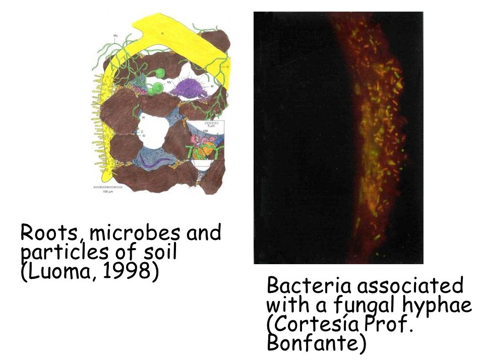 Roots, microbes and particles of soil (Luoma, 1998) Bacteria associated with a fungal hyphae (Cortesía Prof.