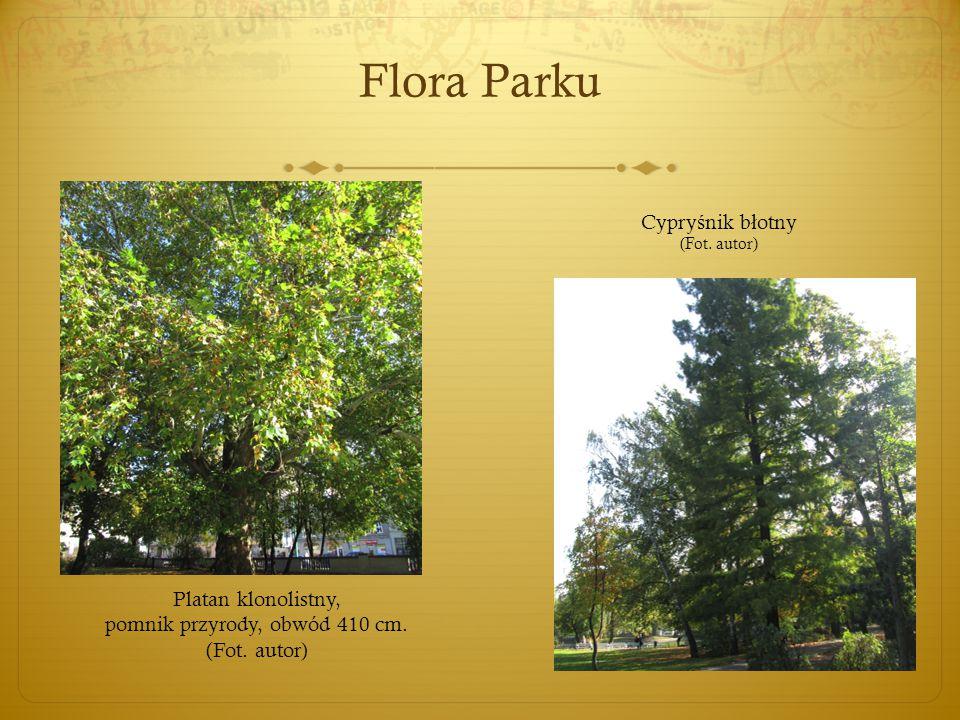 Flora Parku Platan klonolistny, pomnik przyrody, obwód 410 cm. (Fot. autor) Cypry ś nik b ł otny (Fot. autor)