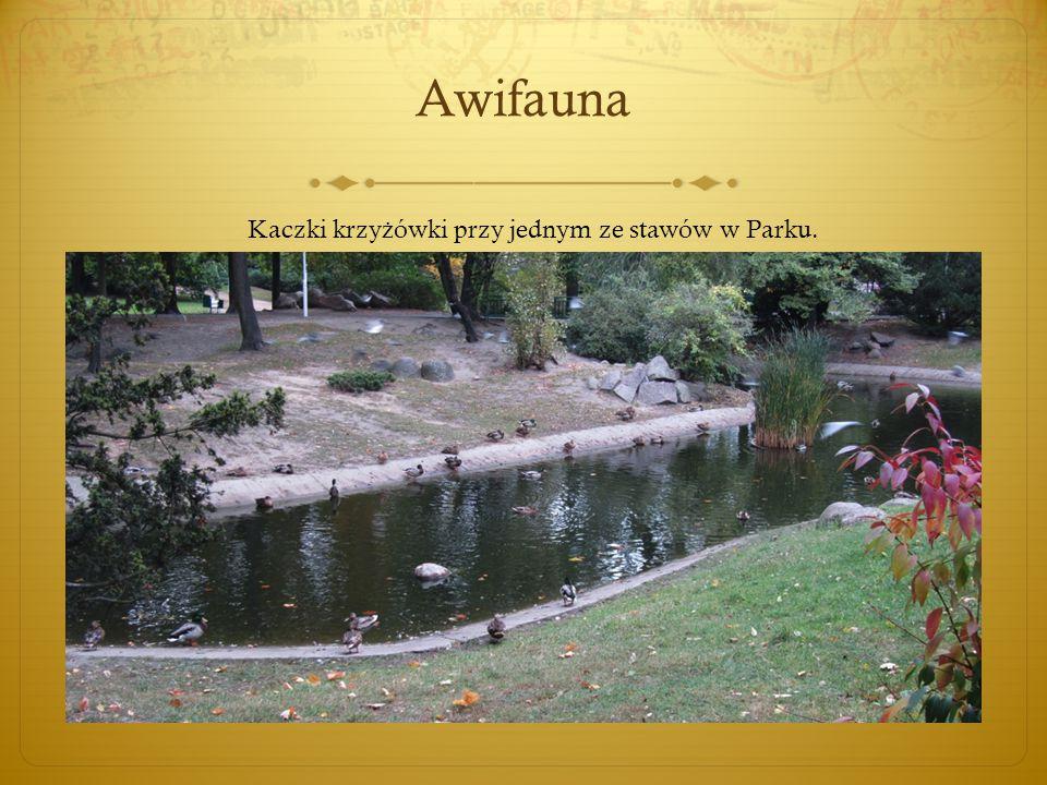 Awifauna Kaczki krzy ż ówki przy jednym ze stawów w Parku.