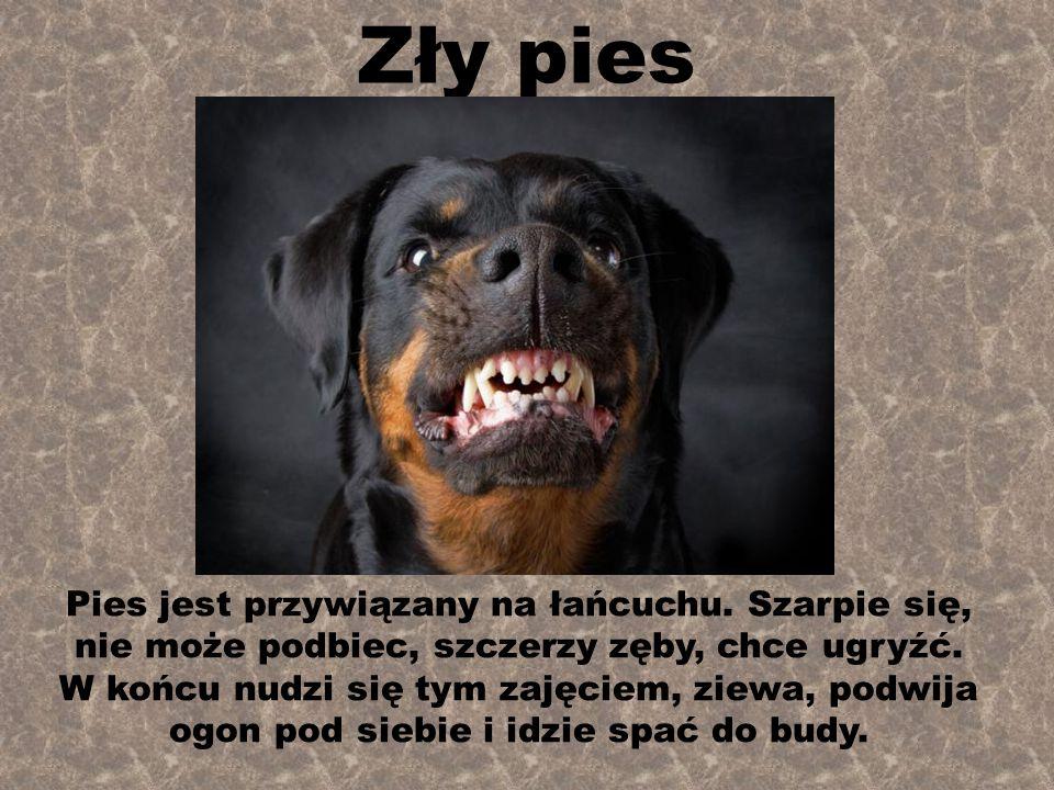 Zły pies Pies jest przywiązany na łańcuchu.