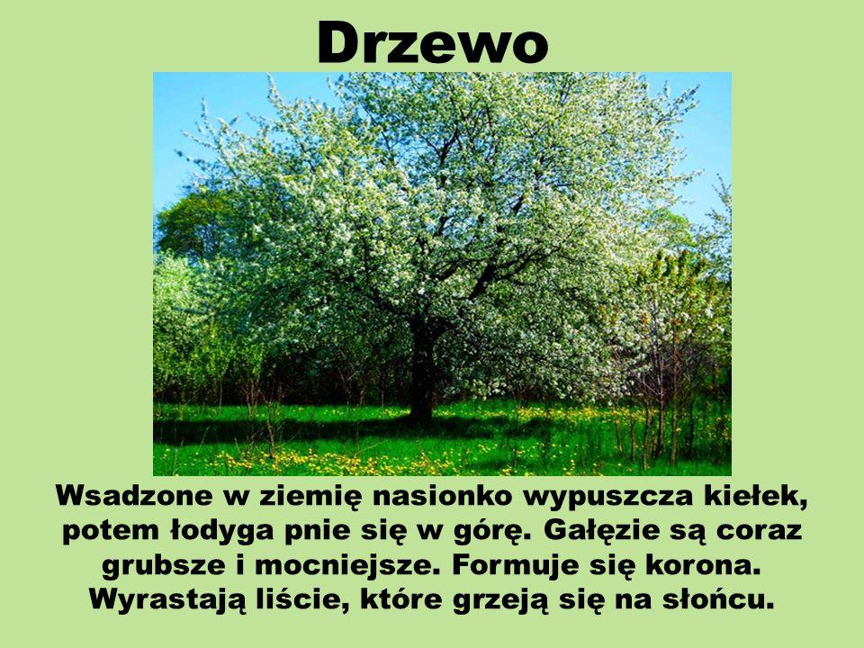 Drzewo Wsadzone w ziemię nasionko wypuszcza kiełek, potem łodyga pnie się w górę.