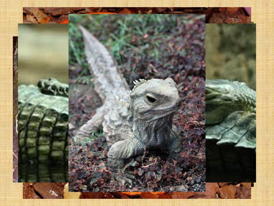 Podział i przedstawiciele: Gromada: Gady o Rząd: Żółwie np.