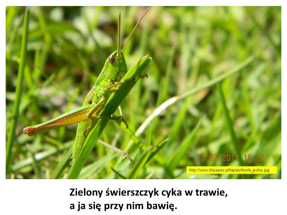 Zielony świerszczyk cyka w trawie, a ja się przy nim bawię. http://www.bhpspec.pl/tapety/konik_polny.jpg