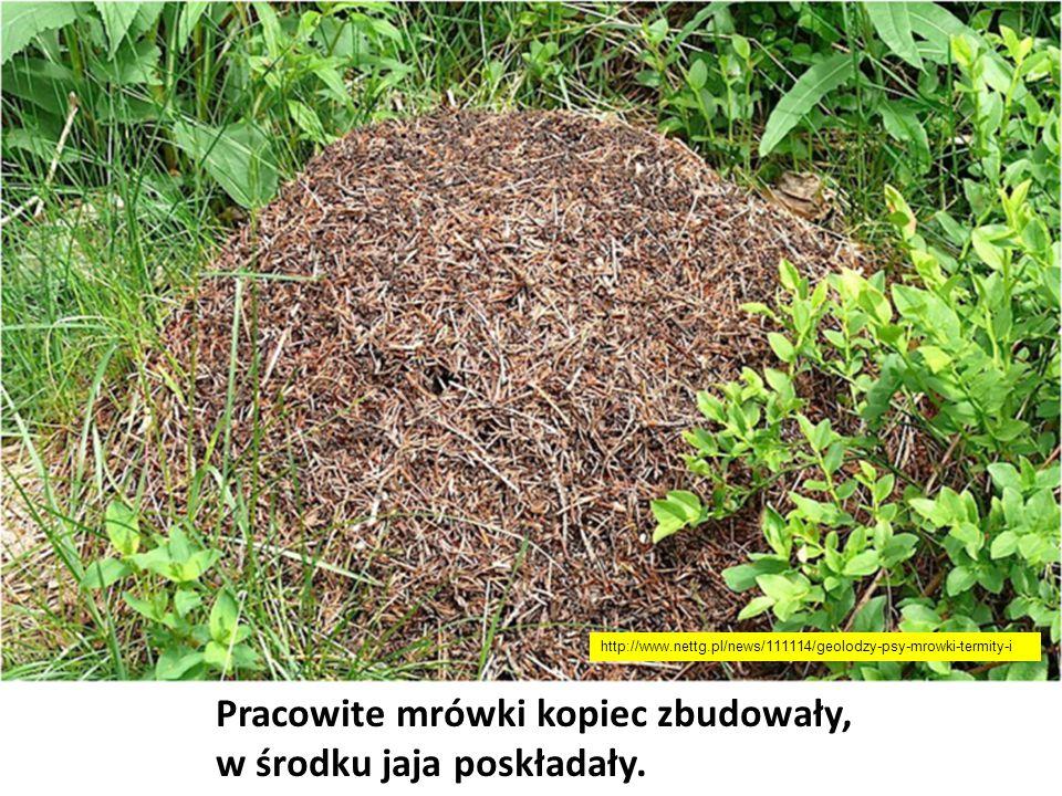 Pracowite mrówki kopiec zbudowały, w środku jaja poskładały. http://www.nettg.pl/news/111114/geolodzy-psy-mrowki-termity-i