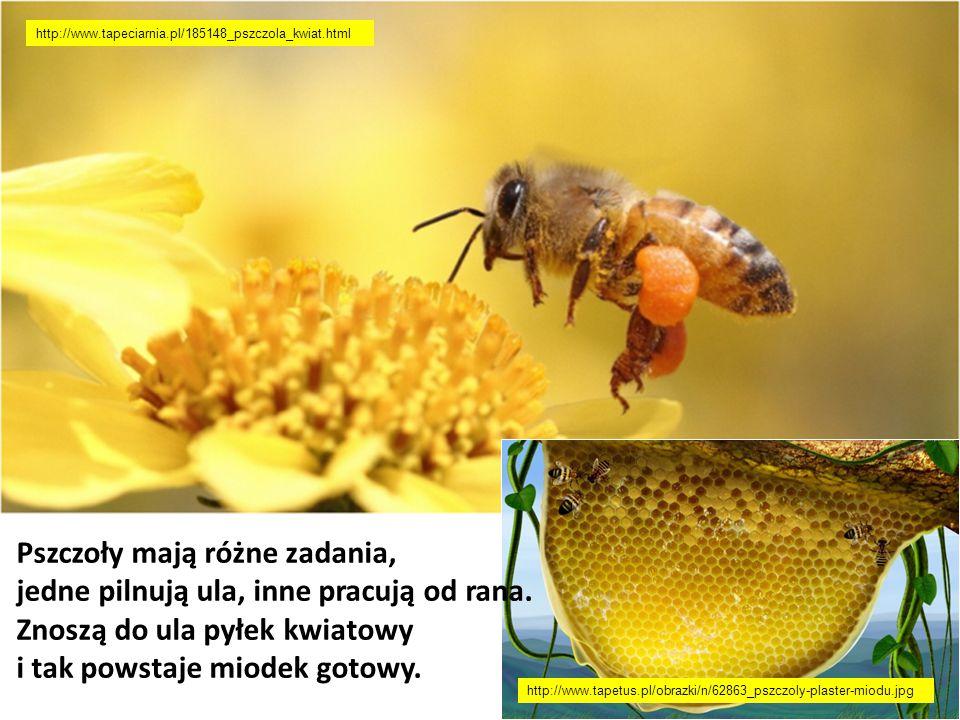 Pszczoły mają różne zadania, jedne pilnują ula, inne pracują od rana. Znoszą do ula pyłek kwiatowy i tak powstaje miodek gotowy. http://www.tapeciarni