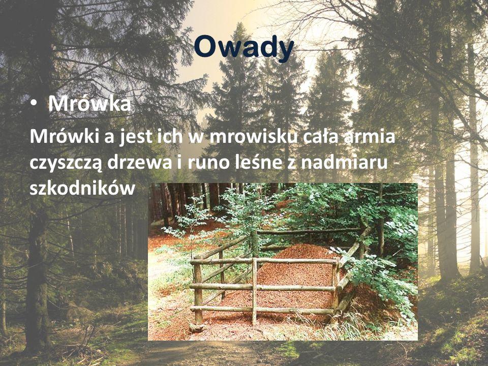 Gady i p ł azy Gady i płazy takie jak np. salamandra, polują na owady i ślimaki, które niszczą las.