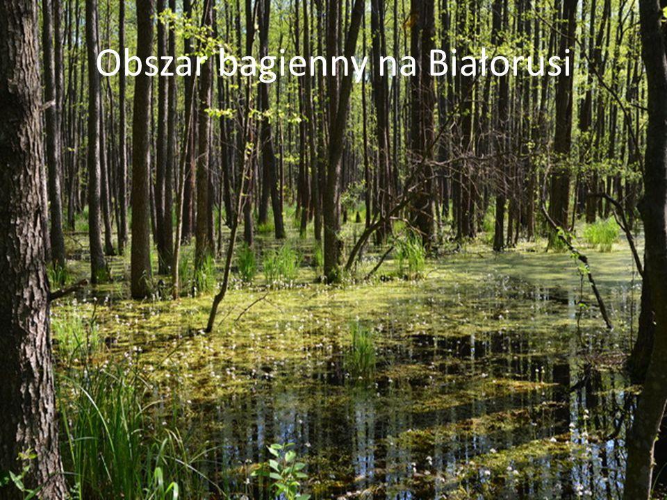 Obszar bagienny na Białorusi