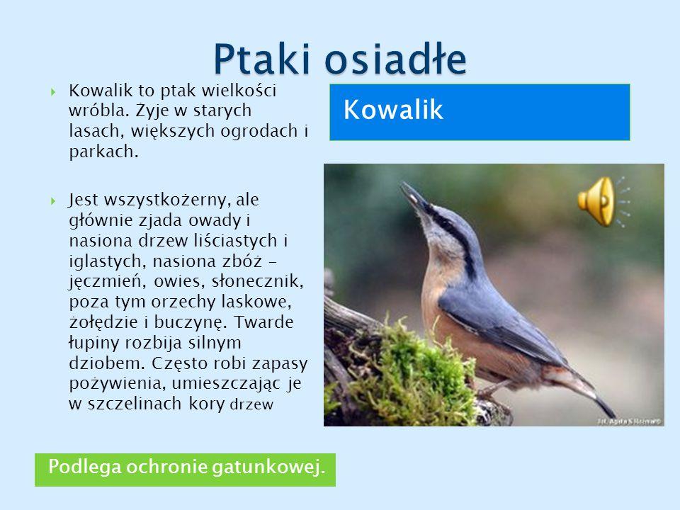Podlega ochronie gatunkowej. Kowalik  Kowalik to ptak wielkości wróbla. Żyje w starych lasach, większych ogrodach i parkach.  Jest wszystkożerny, al