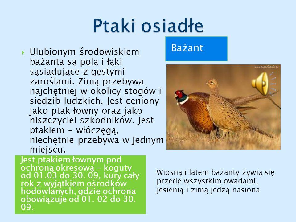 Jest ptakiem łownym pod ochroną okresową - koguty od 01.03 do 30.