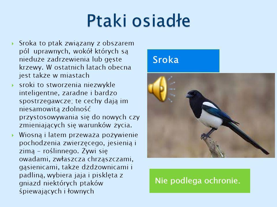 Nie podlega ochronie. Sroka  Sroka to ptak związany z obszarem pól uprawnych, wokół których są nieduże zadrzewienia lub gęste krzewy. W ostatnich lat