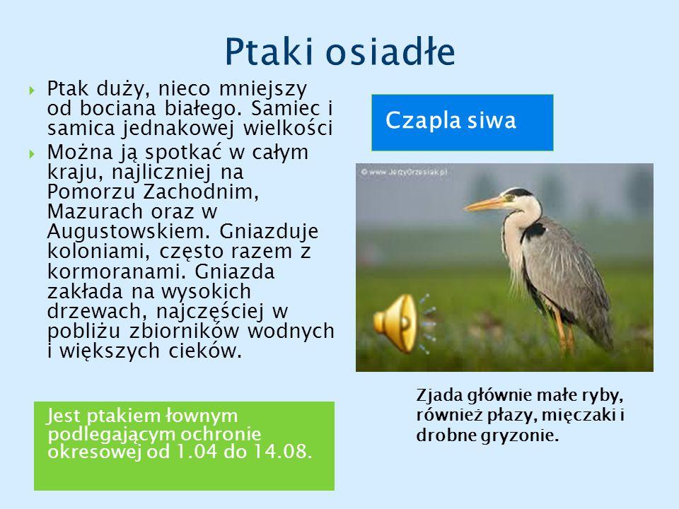 Jest ptakiem łownym podlegającym ochronie okresowej od 1.04 do 14.08.