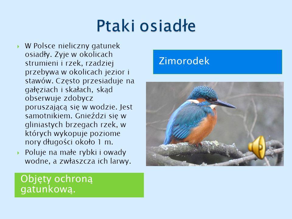 Objęty ochroną gatunkową. Zimorodek  W Polsce nieliczny gatunek osiadły. Żyje w okolicach strumieni i rzek, rzadziej przebywa w okolicach jezior i st