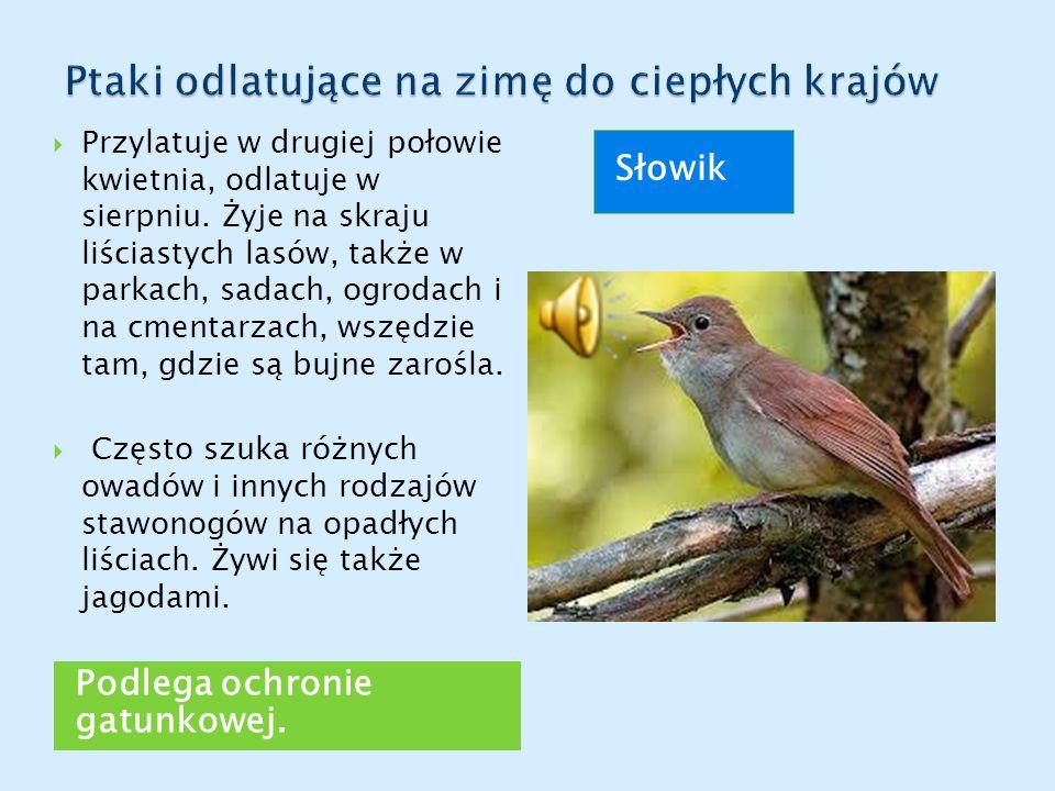Podlega ochronie gatunkowej. Słowik  Przylatuje w drugiej połowie kwietnia, odlatuje w sierpniu. Żyje na skraju liściastych lasów, także w parkach, s
