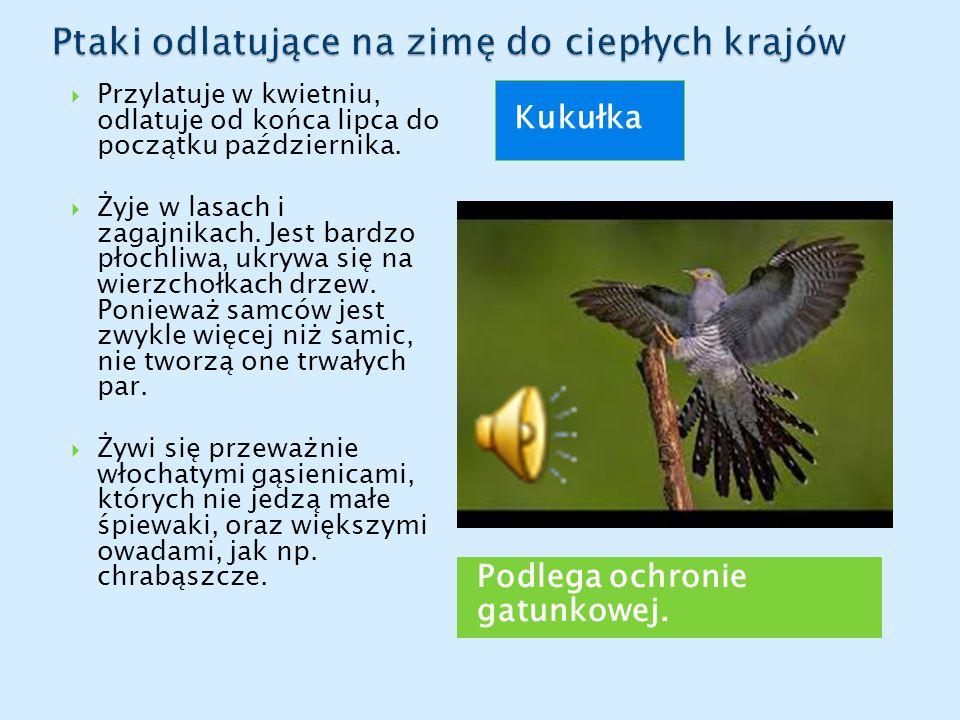 Podlega ochronie gatunkowej. Kukułka  Przylatuje w kwietniu, odlatuje od końca lipca do początku października.  Żyje w lasach i zagajnikach. Jest ba