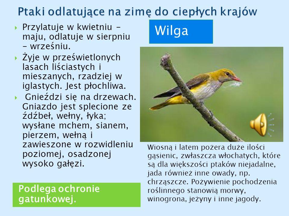 Podlega ochronie gatunkowej. Wilga  Przylatuje w kwietniu - maju, odlatuje w sierpniu - wrześniu.  Żyje w prześwietlonych lasach liściastych i miesz