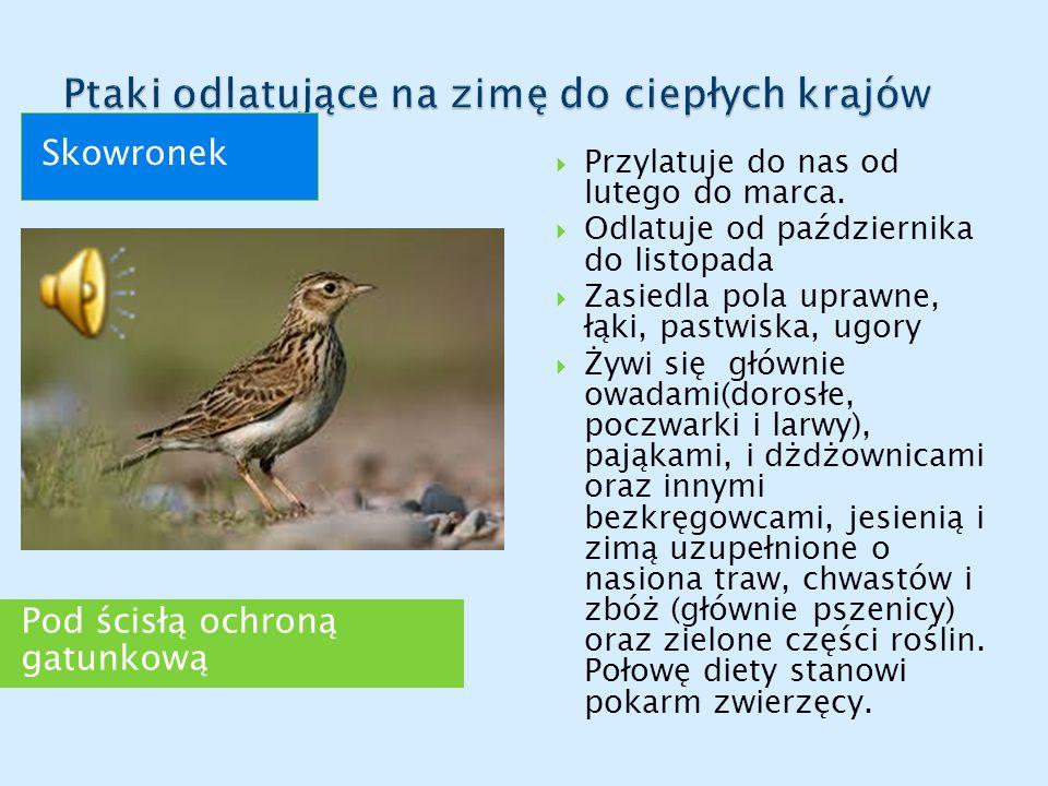 Pod ścisłą ochroną gatunkową Skowronek  Przylatuje do nas od lutego do marca.  Odlatuje od października do listopada  Zasiedla pola uprawne, łąki,