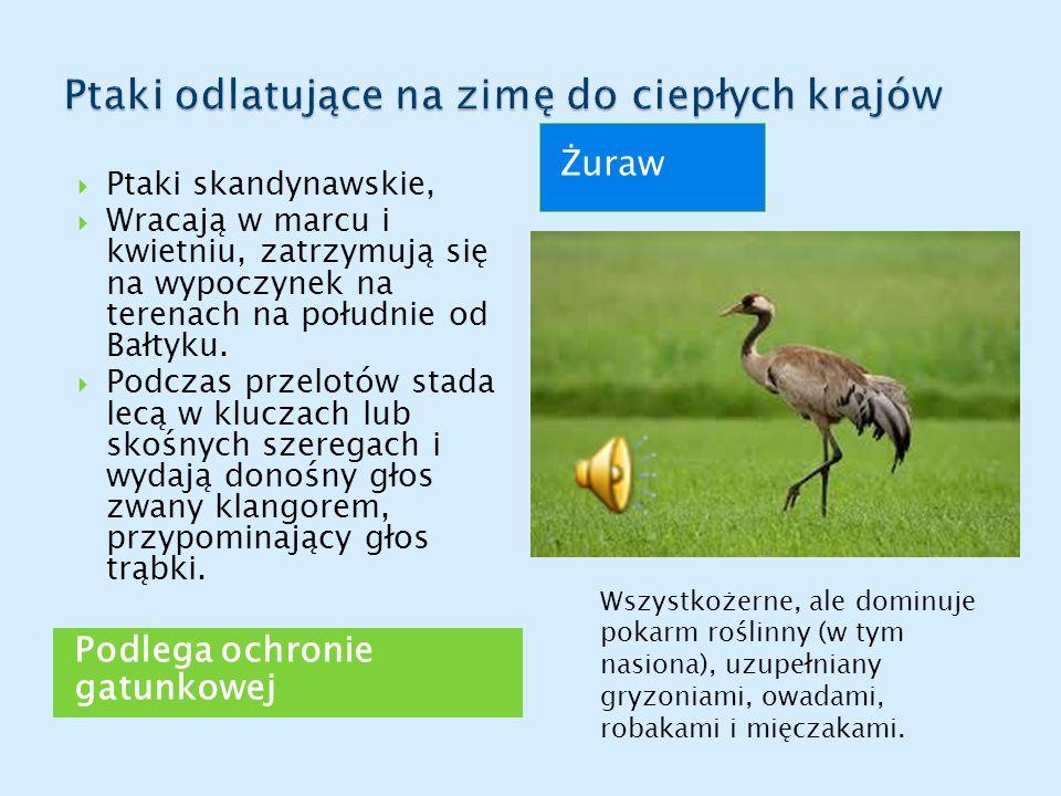 Podlega ochronie gatunkowej Żuraw  Ptaki skandynawskie,  Wracają w marcu i kwietniu, zatrzymują się na wypoczynek na terenach na południe od Bałtyku
