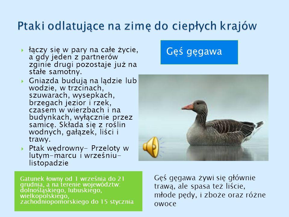 Gatunek łowny od 1 września do 21 grudnia, a na terenie województw: dolnośląskiego, lubuskiego, wielkopolskiego, zachodniopomorskiego do 15 stycznia G