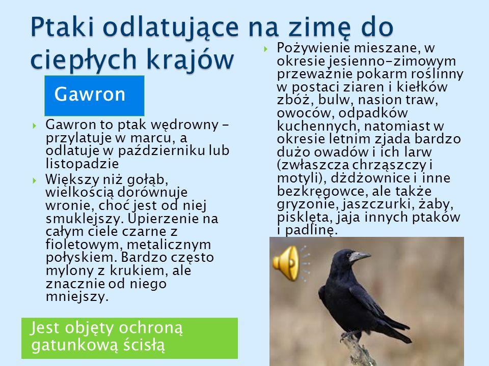 Jest objęty ochroną gatunkową ścisłą Gawron  Gawron to ptak wędrowny - przylatuje w marcu, a odlatuje w październiku lub listopadzie  Większy niż gołąb, wielkością dorównuje wronie, choć jest od niej smuklejszy.