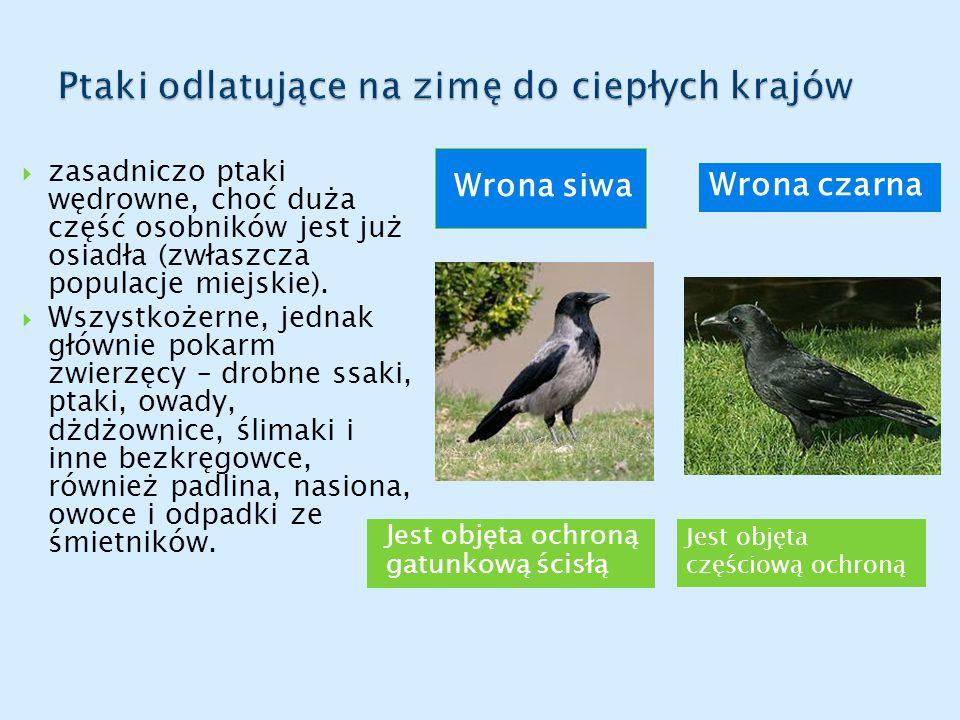 Jest objęta ochroną gatunkową ścisłą Wrona siwa  zasadniczo ptaki wędrowne, choć duża część osobników jest już osiadła (zwłaszcza populacje miejskie).