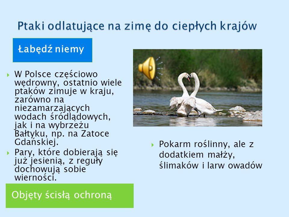 Objęty ścisłą ochroną Łabędź niemy  W Polsce częściowo wędrowny, ostatnio wiele ptaków zimuje w kraju, zarówno na niezamarzających wodach śródlądowych, jak i na wybrzeżu Bałtyku, np.