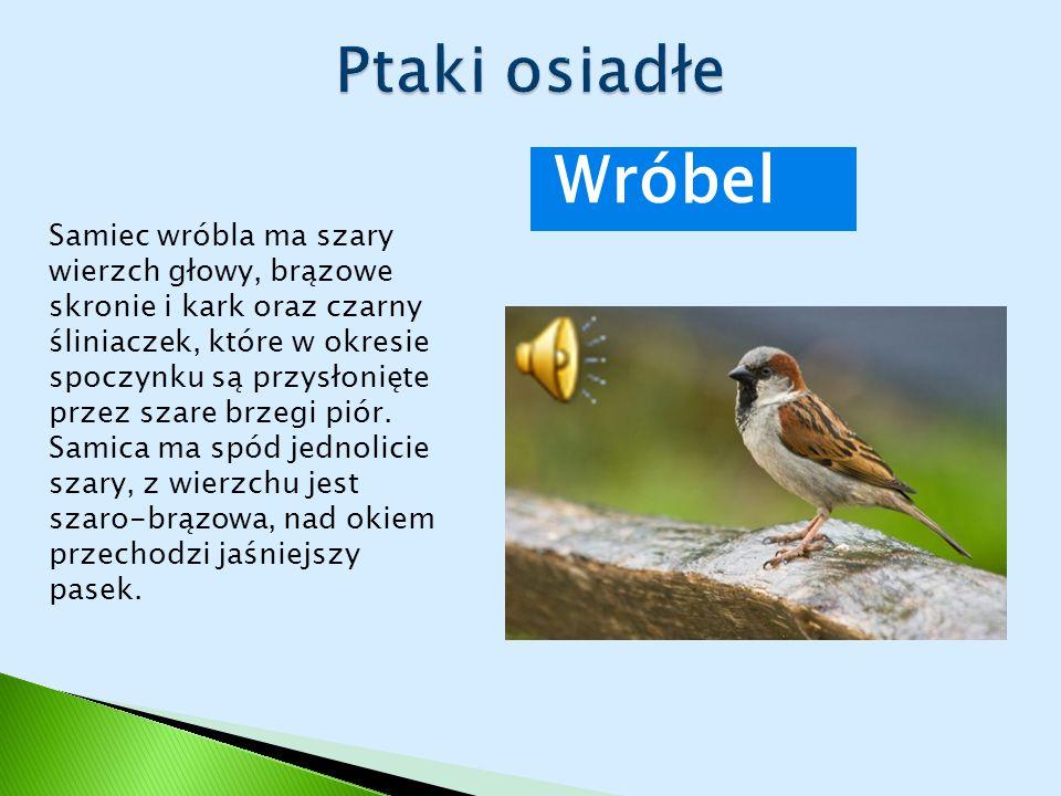 Wróbel Samiec wróbla ma szary wierzch głowy, brązowe skronie i kark oraz czarny śliniaczek, które w okresie spoczynku są przysłonięte przez szare brze