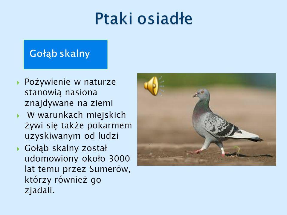 Gołąb skalny  Pożywienie w naturze stanowią nasiona znajdywane na ziemi  W warunkach miejskich żywi się także pokarmem uzyskiwanym od ludzi  Gołąb