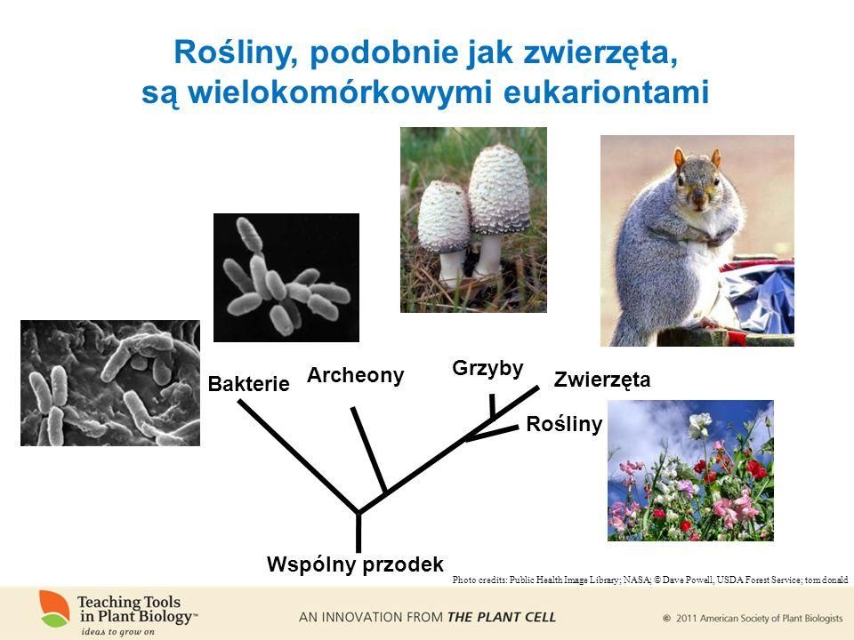 Rośliny, podobnie jak zwierzęta, są wielokomórkowymi eukariontami Bakterie Archeony Zwierzęta Rośliny Grzyby Wspólny przodek Photo credits: Public Health Image Library; NASA; © Dave Powell, USDA Forest Service; tom donald