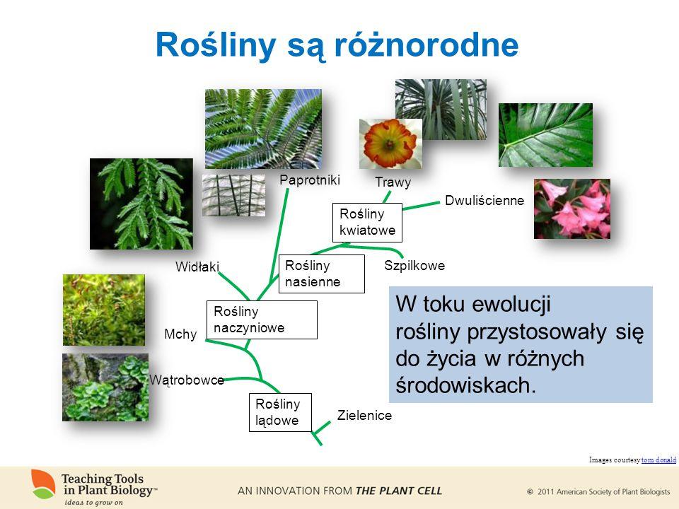 Rośliny są różnorodne Zielenice Wątrobowce Mchy Rośliny naczyniowe Widłaki Paprotniki Rośliny nasienne Rośliny kwiatowe Szpilkowe Trawy Dwuliścienne Rośliny lądowe W toku ewolucji rośliny przystosowały się do życia w różnych środowiskach.