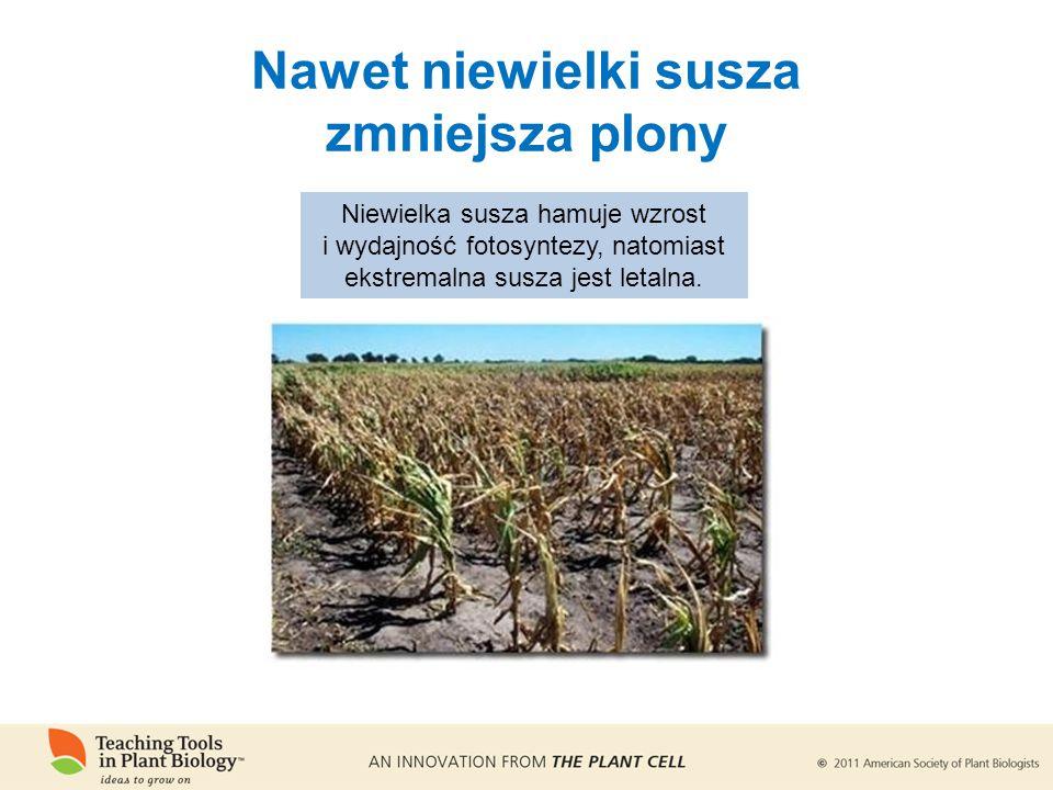Nawet niewielki susza zmniejsza plony Niewielka susza hamuje wzrost i wydajność fotosyntezy, natomiast ekstremalna susza jest letalna.