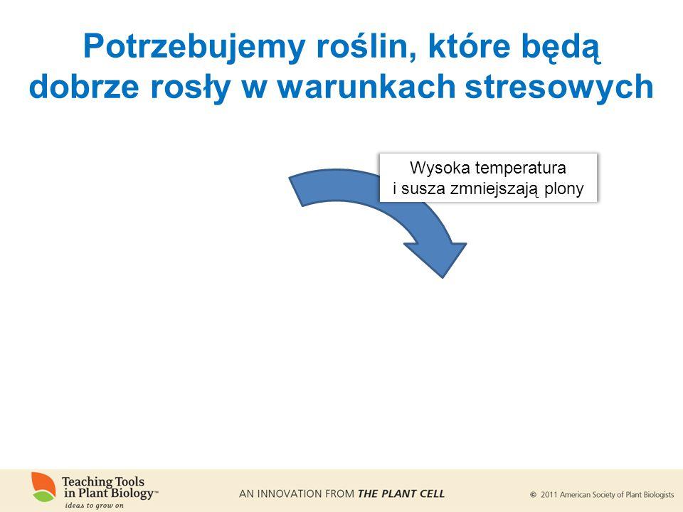Potrzebujemy roślin, które będą dobrze rosły w warunkach stresowych Wysoka temperatura i susza zmniejszają plony