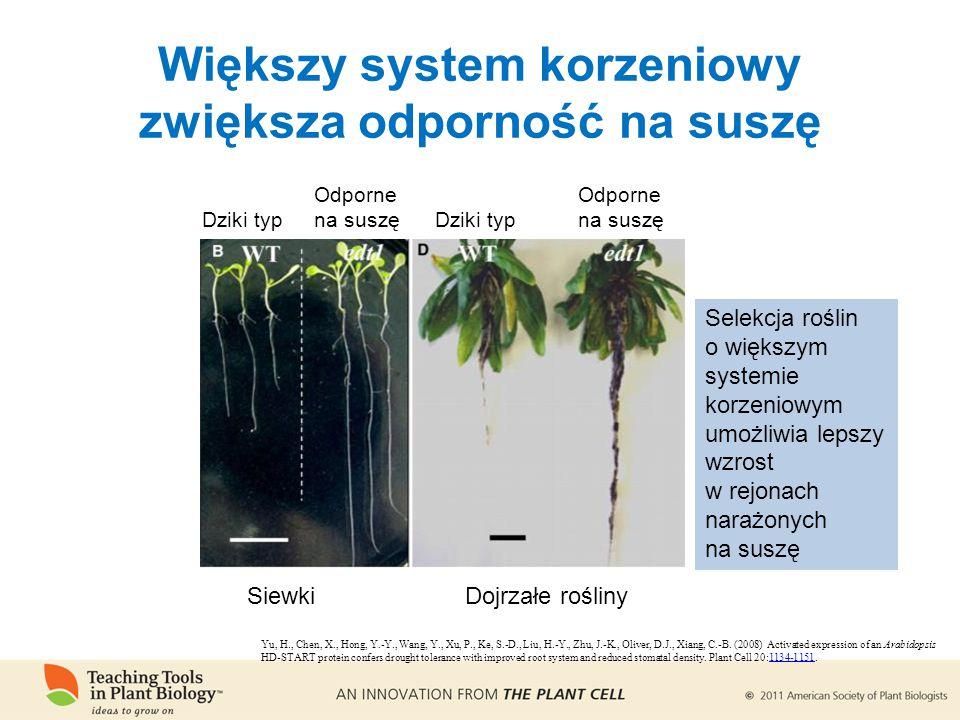 Większy system korzeniowy zwiększa odporność na suszę SiewkiDojrzałe rośliny Dziki typ Odporne na suszę Selekcja roślin o większym systemie korzeniowym umożliwia lepszy wzrost w rejonach narażonych na suszę Yu, H., Chen, X., Hong, Y.-Y., Wang, Y., Xu, P., Ke, S.-D., Liu, H.-Y., Zhu, J.-K., Oliver, D.J., Xiang, C.-B.