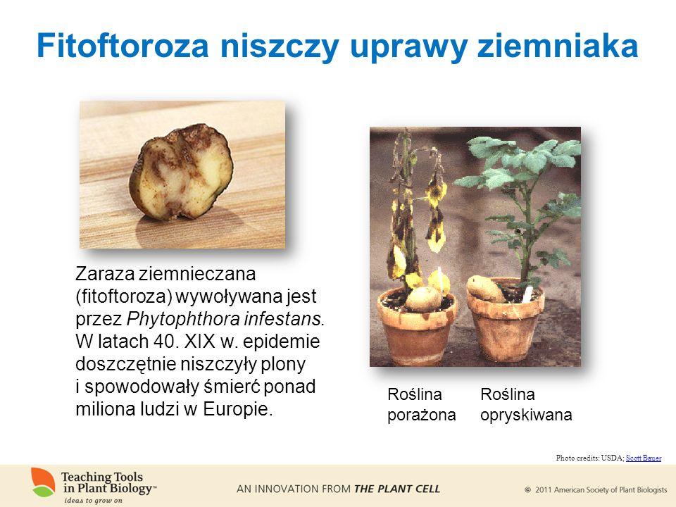 Fitoftoroza niszczy uprawy ziemniaka Zaraza ziemnieczana (fitoftoroza) wywoływana jest przez Phytophthora infestans.