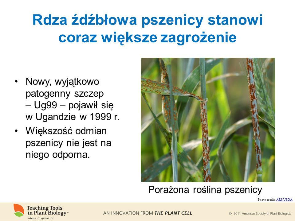 Rdza źdźbłowa pszenicy stanowi coraz większe zagrożenie Nowy, wyjątkowo patogenny szczep – Ug99 – pojawił się w Ugandzie w 1999 r.