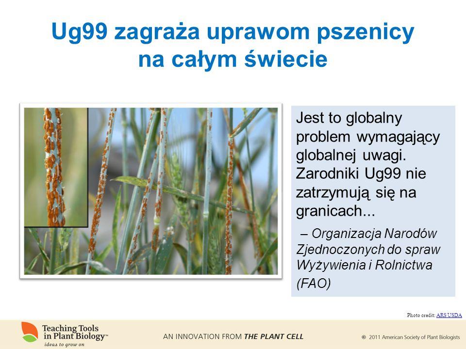 Ug99 zagraża uprawom pszenicy na całym świecie Jest to globalny problem wymagający globalnej uwagi.