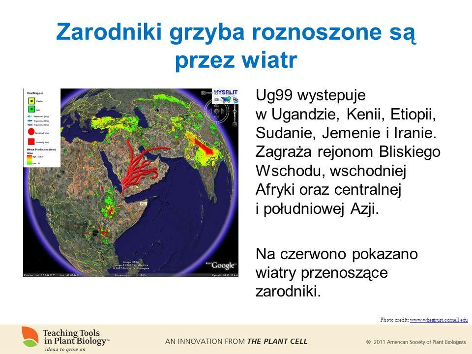Zarodniki grzyba roznoszone są przez wiatr Ug99 wystepuje w Ugandzie, Kenii, Etiopii, Sudanie, Jemenie i Iranie.